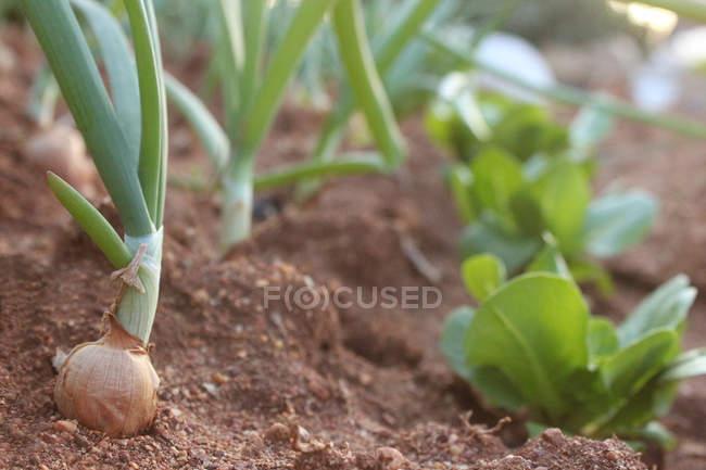 Лук і салату, що ростуть в грунті — стокове фото