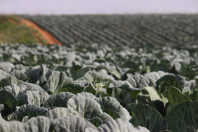 Close-up view of cabbages in a field — Stock Photo