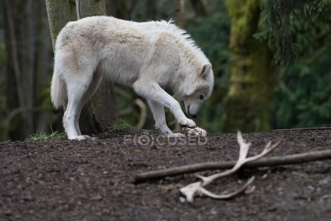 Vue panoramique du loup avec sa proie à la nature sauvage — Photo de stock