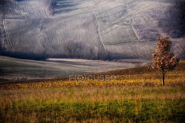 Lone tree in rural landscape, Castellania, Piedmont, Italy — Stock Photo