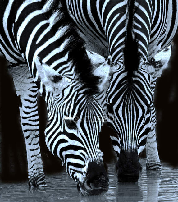 Two zebras drinking at waterhole, Limpopo, South Africa — Stock Photo