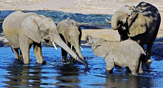 Слоны, стоя в водопоя, Окаванго, Ботсвана — стоковое фото