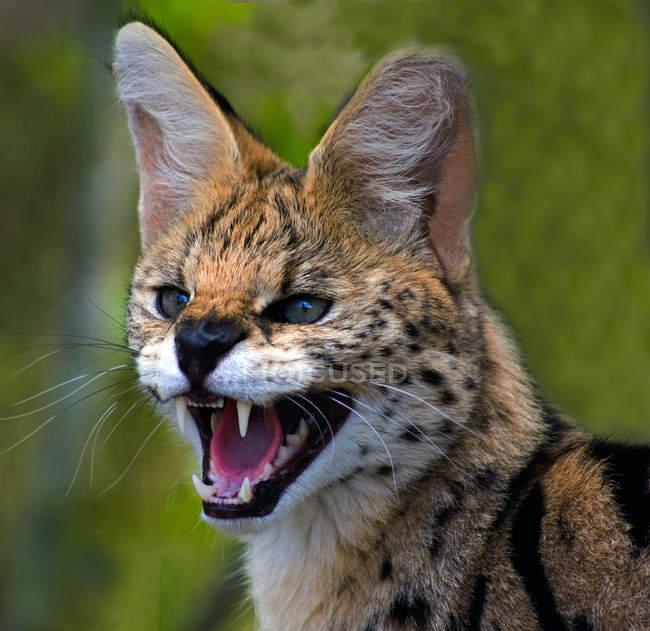 Porträt einer afrikanischen Wildkatze, die knurrt, Limpopo, Südafrika — Stockfoto