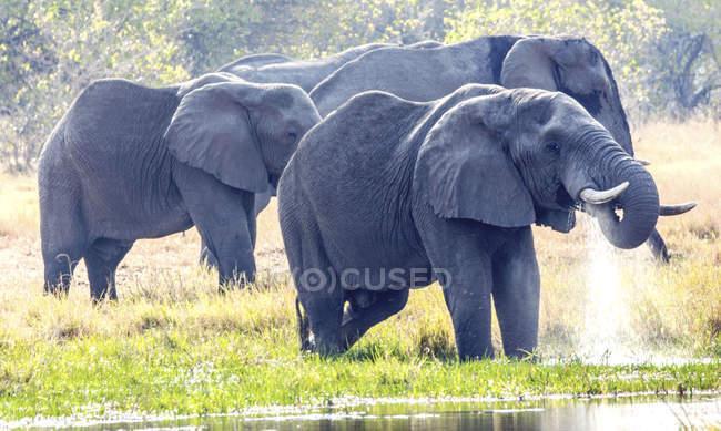 Éléphants se baignant dans la rivière, Okavango, Botswana — Photo de stock