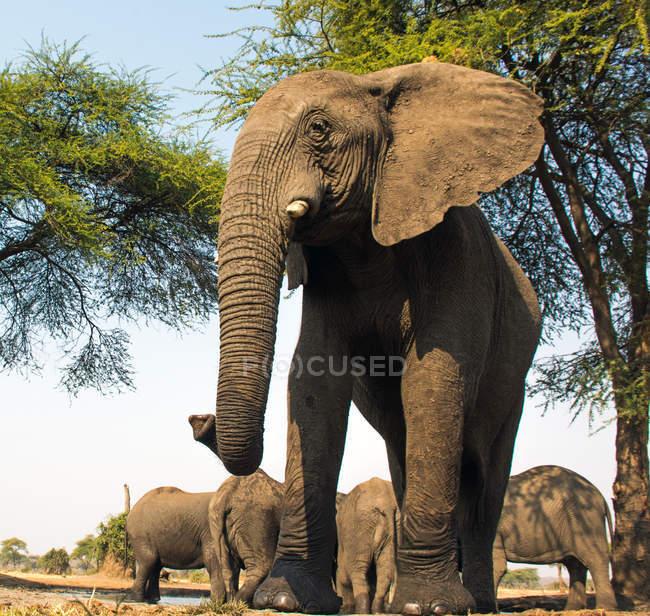 Bull слон в водопоя, Окаванго, Ботсвана — стоковое фото