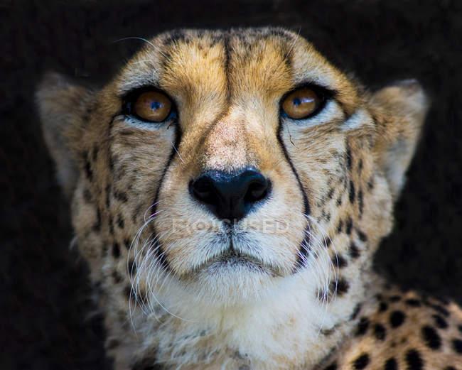 Крупним планом портрет величний Гепард в дикій природі — стокове фото