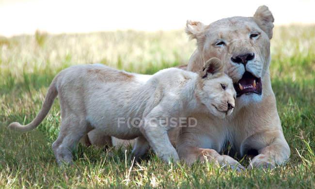 Leona con cachorro de León en vida silvestre - foto de stock