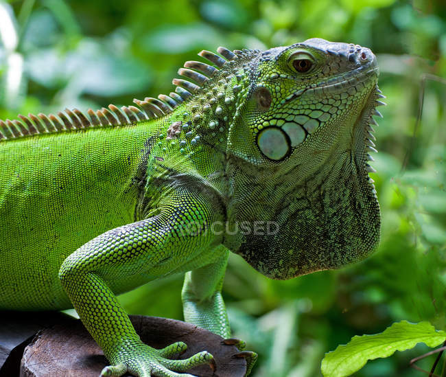 Side view of Green iguana, selective focus — Stock Photo