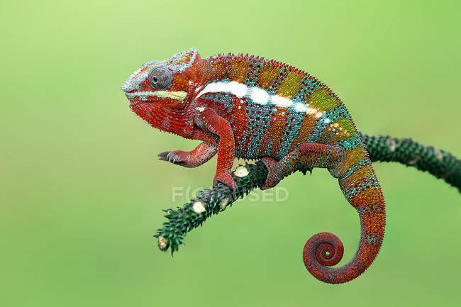 Panther chameleon on branch, closeup view, selective focus — Stock Photo