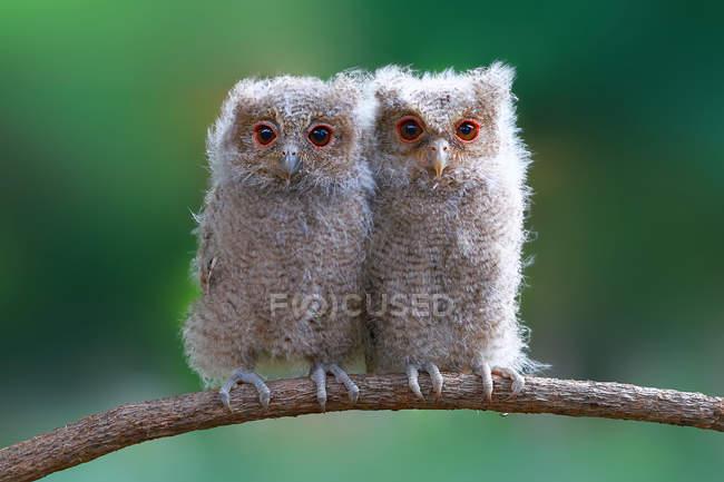Dos lechuzas sentadas en una rama sobre un fondo borroso — Stock Photo