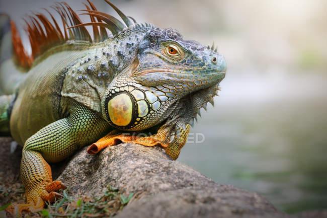 Iguana sitting on a rock, closeup view, selective focus — Stock Photo