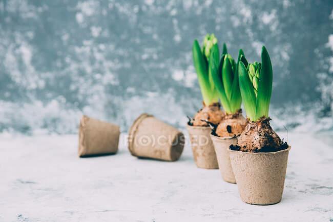 Fila di fiori di giacinto in vasi di tappeto erboso — Foto stock