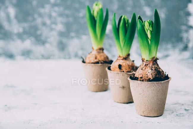 Primo piano vista di tre fiori di giacinto in vasi di tappeto erboso — Foto stock