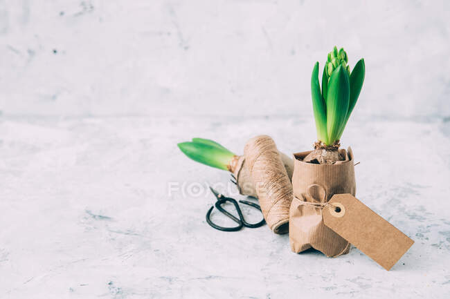 Гіацинтові рослини загорнуті в коричневий папір. — стокове фото