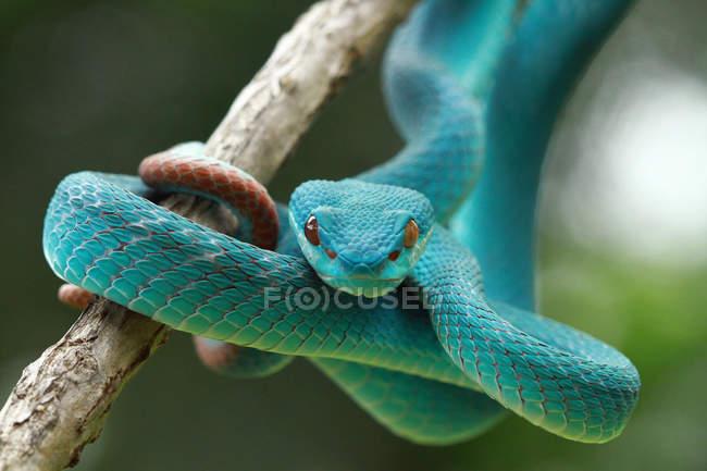 Vue rapprochée de la couleuvre à vipère bleue, fond flou — Photo de stock