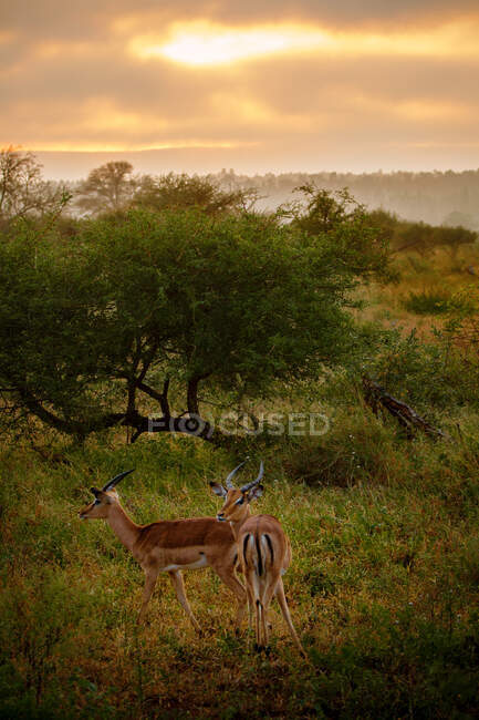 Pareja de Impalas Masculinos, Parque Nacional Kruger, Limpopo, Sudáfrica - foto de stock
