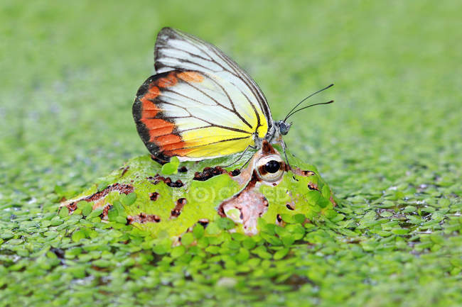Butterfly on pacman frog, closeup view — стокове фото