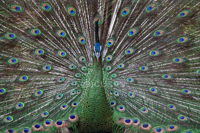 Pavo real mostrando plumas de la cola, marco completo - foto de stock