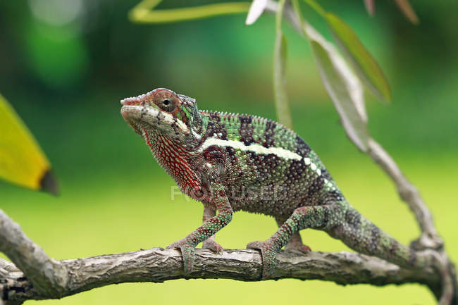 Chameleon on branch, closeup view, selective focus — Stock Photo