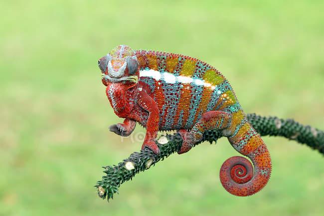 Portrait of a chameleon closeup, selective focus — Stock Photo