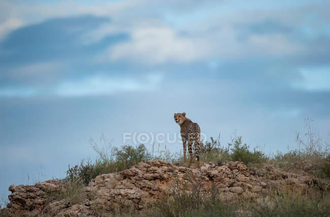 Cheetah de pie en la cresta, Sudáfrica - foto de stock