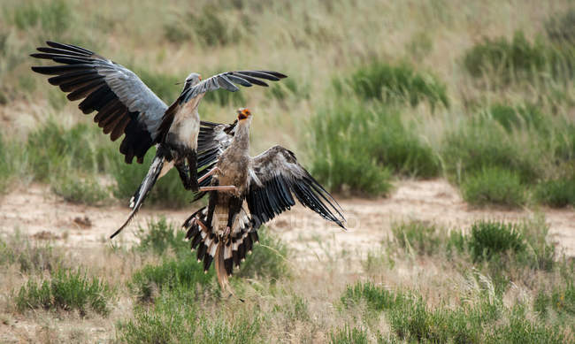 Две птицы-секретари сражаются на дикой природе — стоковое фото