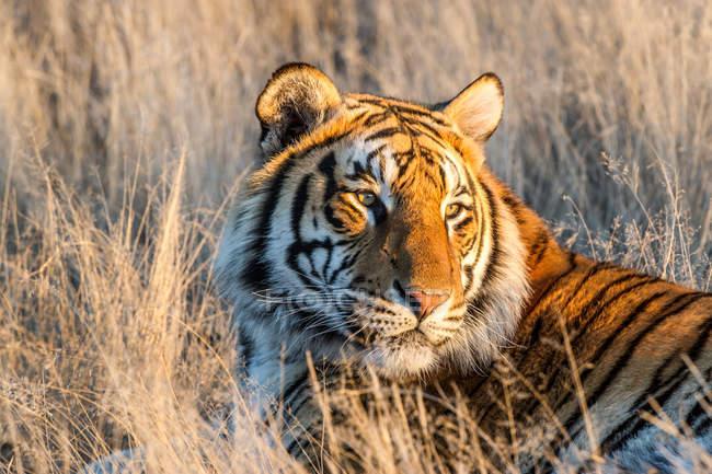 Porträt eines majestätischen Tigers im hohen Gras — Stockfoto