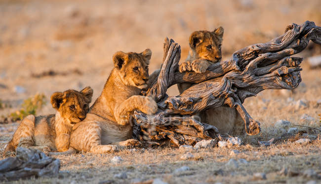 Adorable and cute Lion Cubs playing with log — Stock Photo