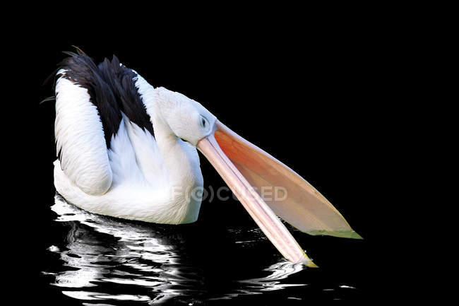 Pelican majestoso e belo na vida selvagem — Fotografia de Stock