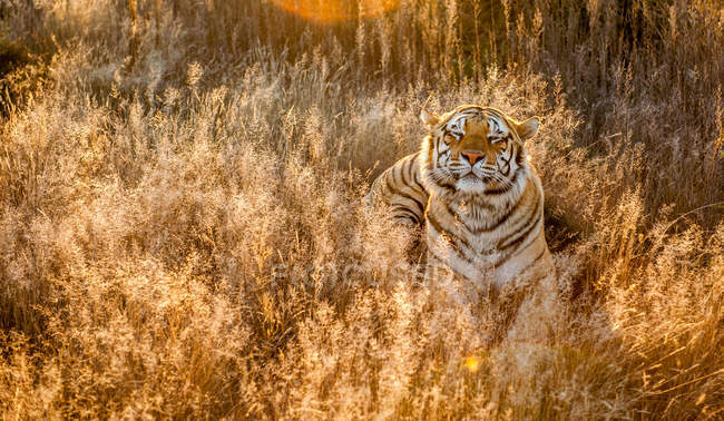Scenic view of Tiger in long grass, South Africa — Stock Photo