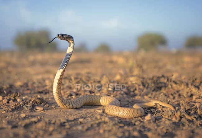 Vue latérale du cobra noir sur le sable, foyer sélectif — Photo de stock
