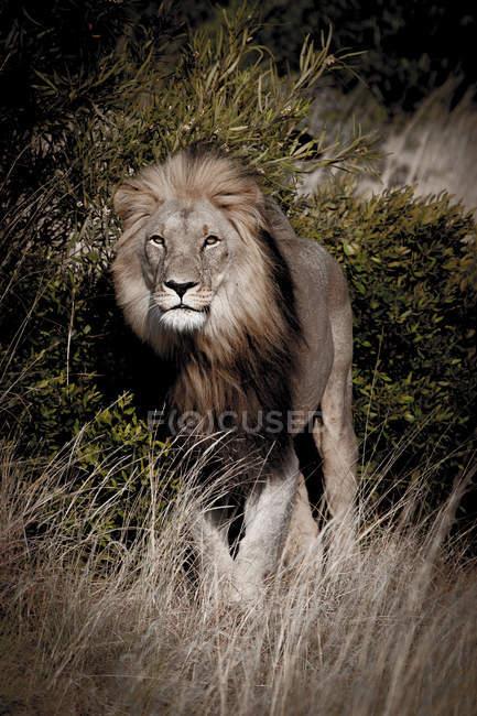 Pé de leão no mato em vida selvagem — Fotografia de Stock