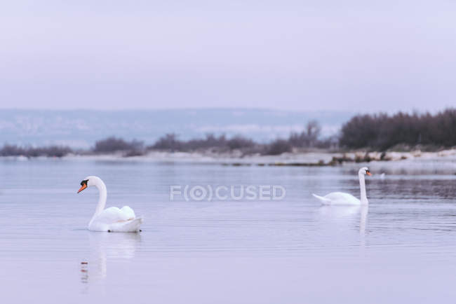 Scenic view of Swans on a lake, Marseille, Provence-Alpes-Cote d 'Azur, France — стоковое фото