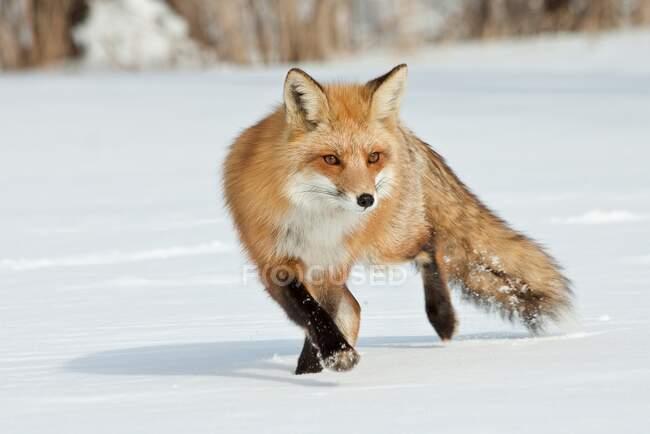 Сценічний вид на Лис у снігу. — стокове фото