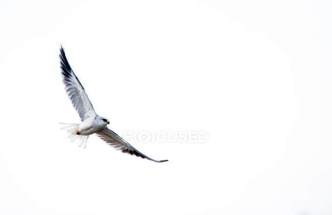 Чорні плечі кайт в польоті на чисте небо — стокове фото