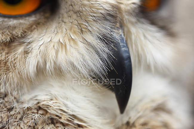 Крупний план огляду сірої сови дзьоб — стокове фото