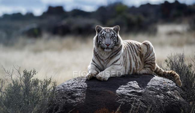Tiger sitzt auf Felsen, Südafrika — Stockfoto