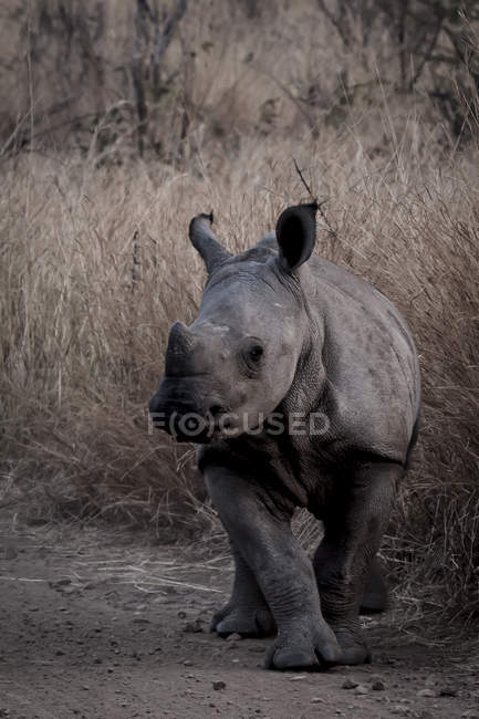 Majestic rhino walking at wild nature — Stock Photo