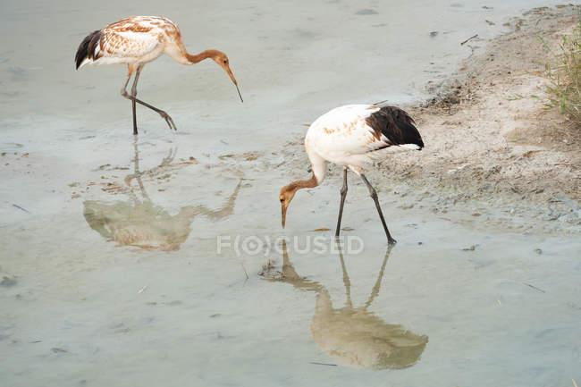 Gru a corona rossa guadare nel fiume, natura selvaggia — Foto stock