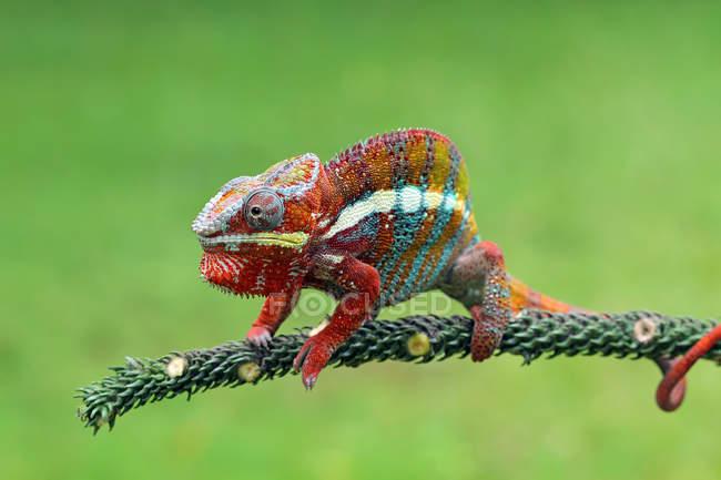 Portrait of a chameleon, closeup view, selective focus — Stock Photo