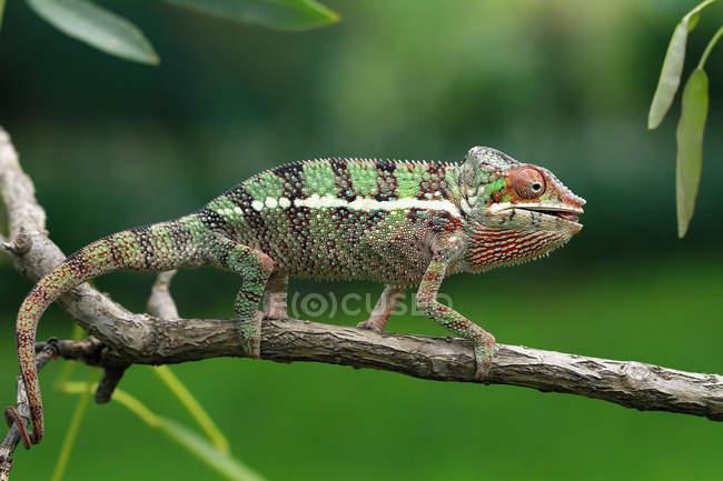 Caméléon marchant sur la branche, foyer sélectif — Photo de stock