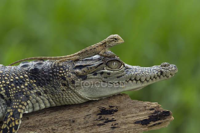 Ящірка сидить на крокодила, крупним планом вид, селективний фокус — стокове фото