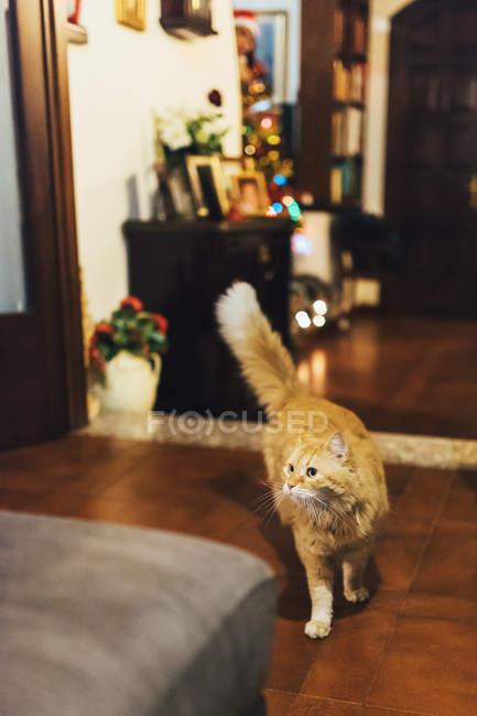 Gatto a piedi in un soggiorno, vista ravvicinata — Foto stock