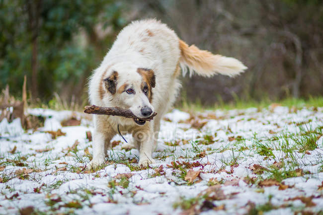 Dog playing in the snow with a piece of wood — Stockfoto
