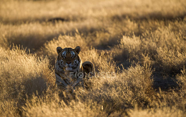 Vista panorâmica do tigre em grama longa, África do Sul — Fotografia de Stock