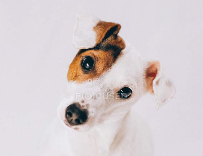 Портрет Джека Рассел собака, крупним планом відкрити — стокове фото