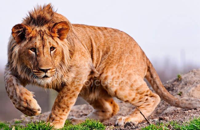 Retrato de um caça de leão na natureza selvagem — Fotografia de Stock