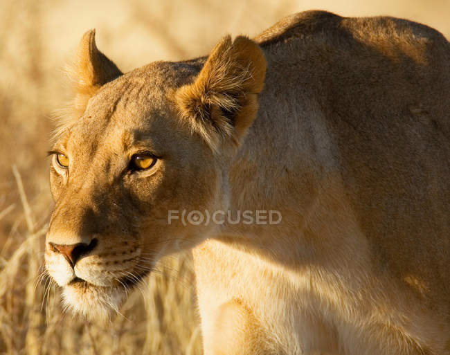 Portrait of a lioness hunting at wild nature — Stock Photo