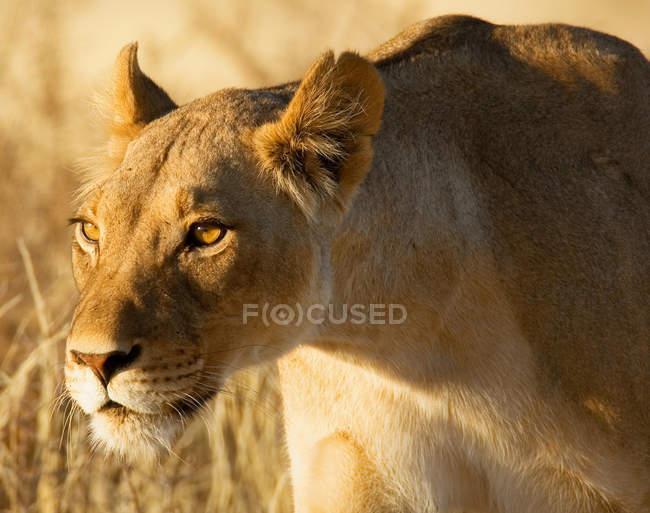 Ritratto di una caccia leonessa a natura selvaggia — Foto stock