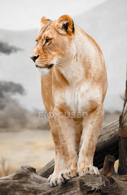 Левиця стояла на стовбурах дерев в Африці — стокове фото
